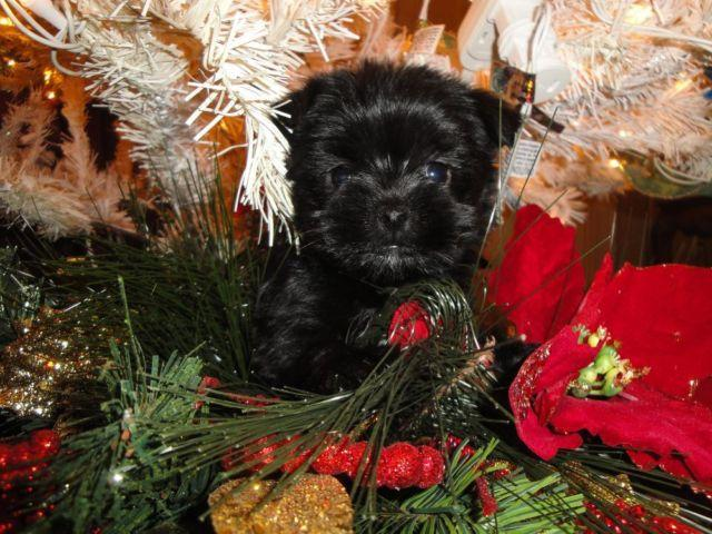 Teacup Toy Maltipoo Puppy