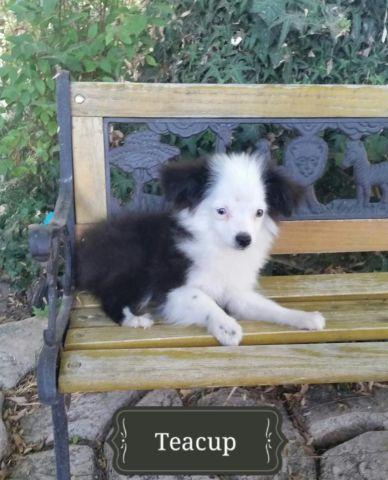 Mini Australian Shepherd Puppies
