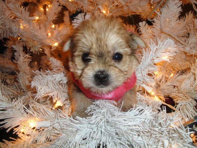 Teacup Toy Morkie (Maltese and Yorkie Mix ) Puppies