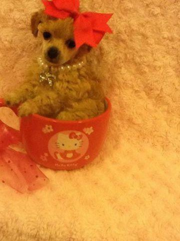 teacup toy poodle apricot cream