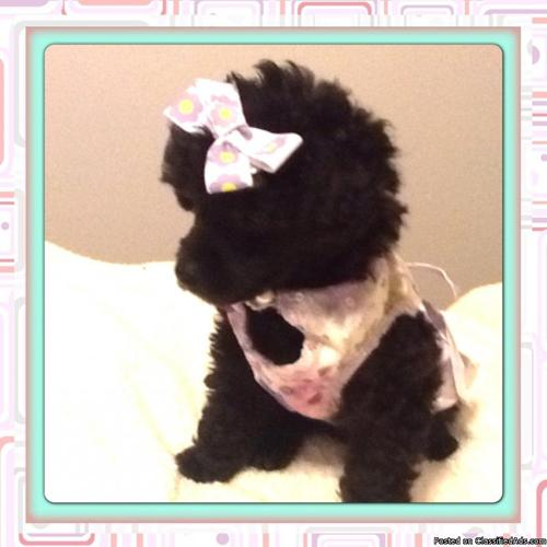 Teacup toy poodle black