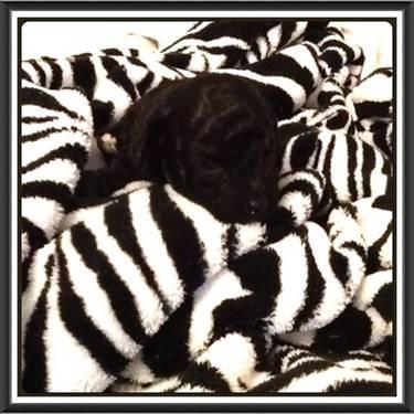 teacup toy poodle black