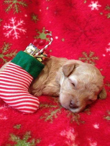 Teacup Toy Poodle - Light Apricot Female - AKC