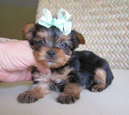 teacup/toy yorkie puppies