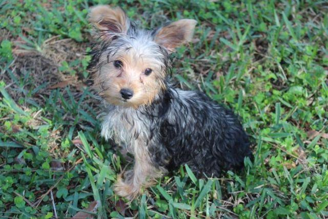 yorkie chorkie pets and animals for sale in orlando florida puppy