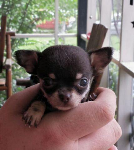 Teacup Chihuahua Puppies For Sale In Georgia Classifieds Buy And