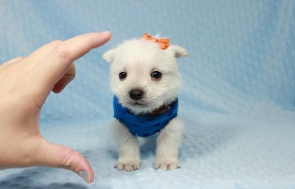 Teacup Weeranian Westiepomeranian Puppies For Sale In Las Vegas
