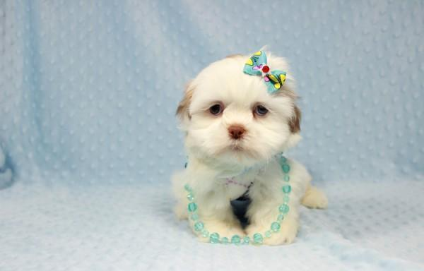 Teacup Whitegoldred Shih Tzu Puppies Availanle Now At Puppy Heaven