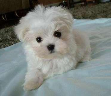 Teacup White Morkie Puppies For Sale In Sugar Land Texas Classified