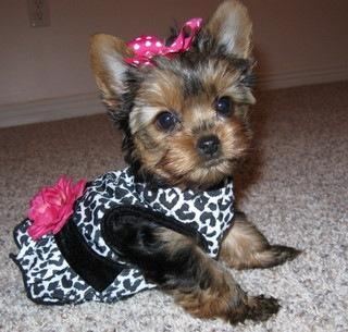 Teacup X-Mas Yorkshire Terrier puppies sms (303) 990-5675