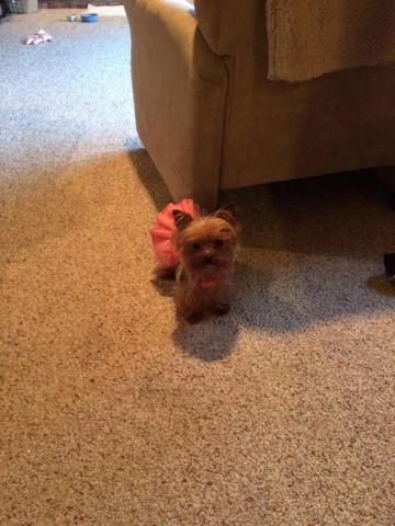 Teacup Yorkie 3 Lb Princess Purebred Blue And Tan Silky For Sale
