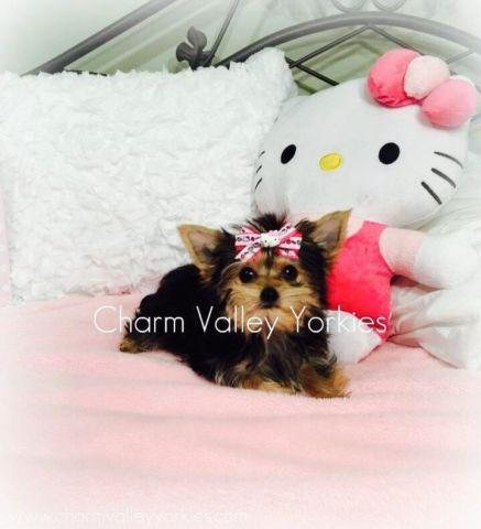 Teacup Yorkie For Sale In Cleveland Ohio Classified