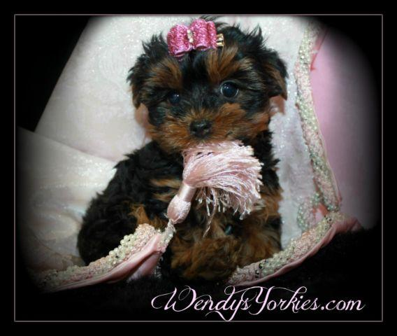 Teacup Yorkie Female Puppy For Sale In Powderly Texas Classified
