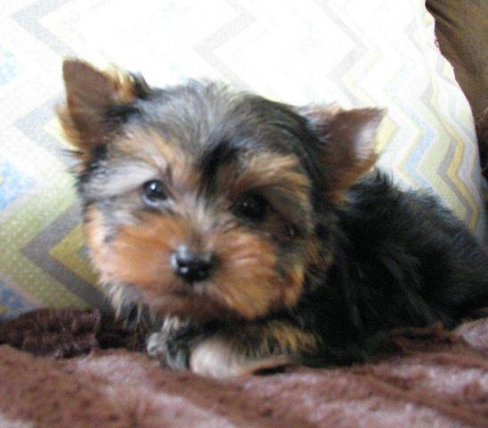 Teacup Yorkie Male For Sale In Belknap Iowa Classified