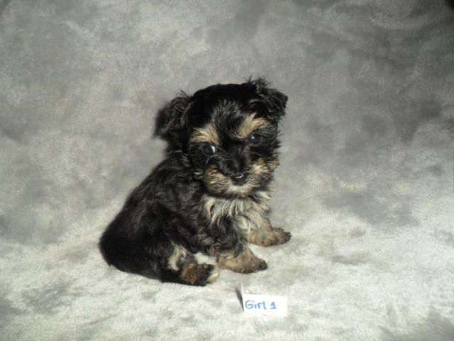 Teacup Yorkie Poo Puppy Pets And Animals For Sale In The Usa Puppy