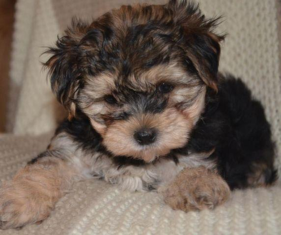 teacup yorkie poos for sale teacup yorkie poo male puppy for sale in arab alabama 2871