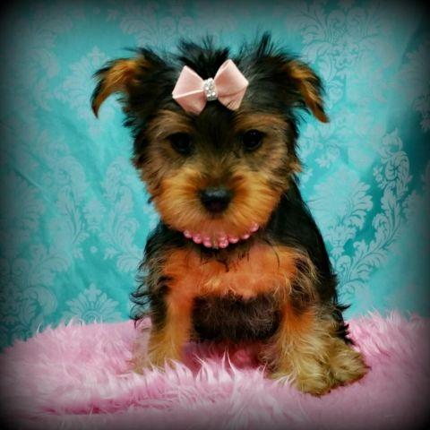 teacup yorkie puppies for sale in ohio teacup yorkie puppies 10 weeks old for sale in lisbon 9503