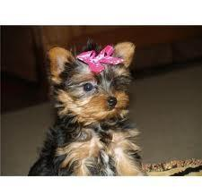 yorkie puppies for sale indianapolis teacup yorkie puppies for sale in indianapolis indiana 3656
