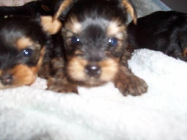 teacup yorkie puppies for sale in ohio teacup yorkie puppies for sale in cincinnati ohio 9127