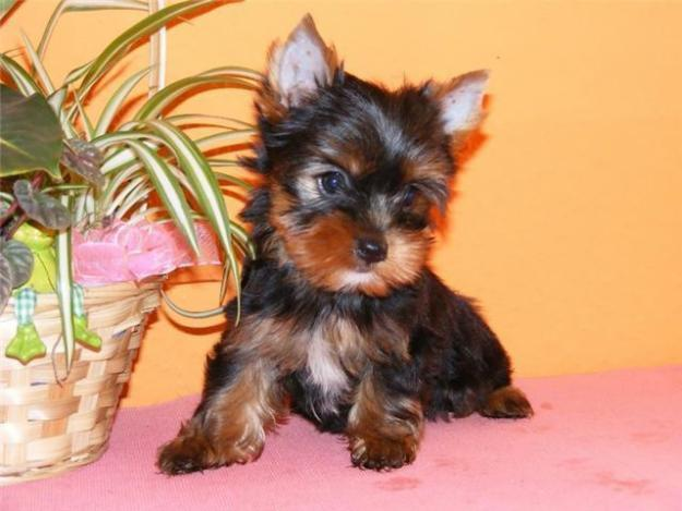 Where to buy a teacup yorkie in colorado?!?