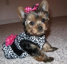 Teacup Yorkie Puppies Available For Sale In Charlotte North