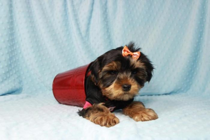 Teacup Yorkie Puppies Available For Sale In Arizonautahchicago For