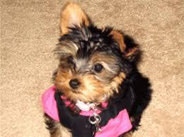 Teacup Yorkies For Sale In Greenville South Carolina Classifieds