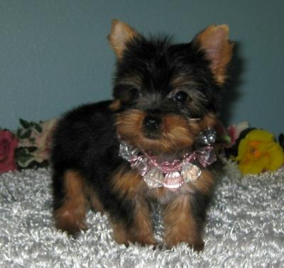 Teacup Yorkie Puppies For Rehoming Now 832 937 8464 For