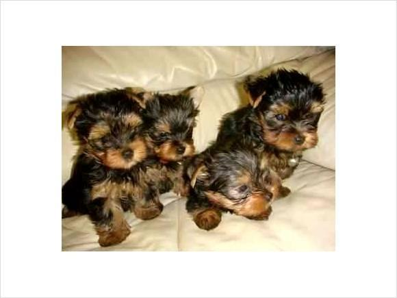 Teacup Yorkie Puppies For Sale For Sale In Reading Pennsylvania