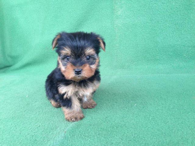 teacup yorkie puppies for sale in ga teacup yorkie puppy for sale in big canoe georgia 2043