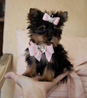 Teacup Yorkie Puppy For Free Adoption For Sale In Houston Texas