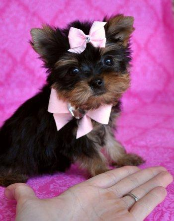 Teacup Yorkie Puppy For Free Adoption For Sale In Dallas Texas