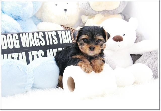 Teacup Yorkie Puppy Joy For Sale In Los Angeles California