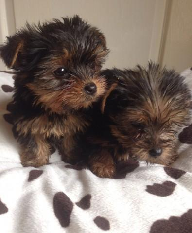 yorkie puppies for sale wilmington nc teacup yorkie pups available for sale in wilmington north 3425