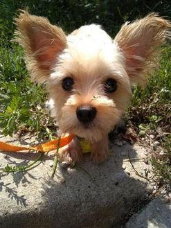 Teacup Yorkie Yorkshire Terrier Adult Female For Sale In Cleveland