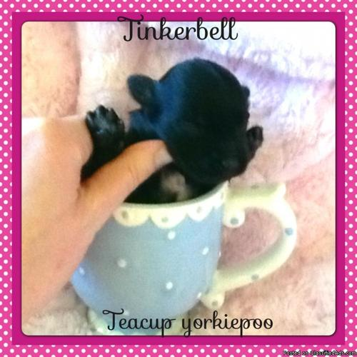 Teacup yorkiepoo puppies (yorkie + poodle)