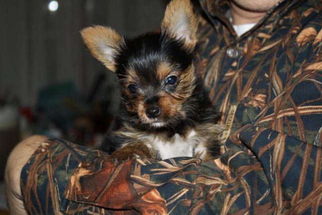 Teacup Puppies Yorkies For Sale In San Antonio Texas Classifieds