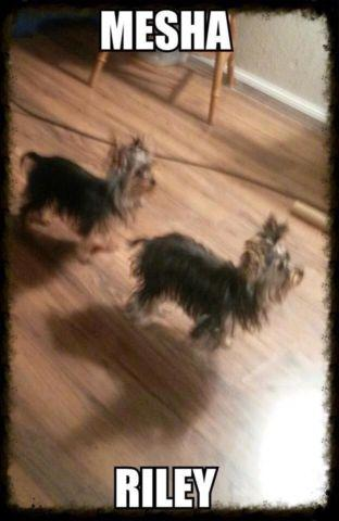 Teacup Yorkies male and female 2lbs 7 months old AKC