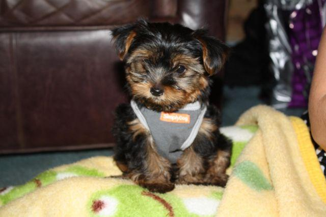 Teacup Yorkies Reduced For Father S Day For Sale In San
