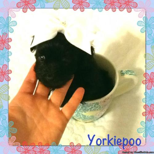 Teacup yorkipoo ( Yorkie + poodle)