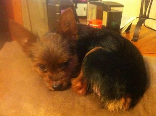 teacup yorkshire terrier for sale cheap repost for sale in burtonville kentucky classified
