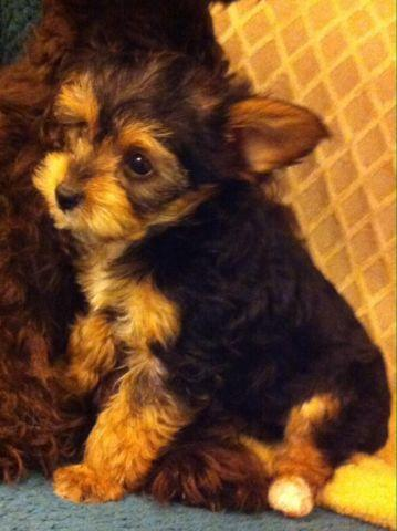 Teacup Yorkshire Terrier/ poodle mix for Sale in Tacoma ...