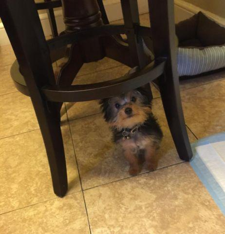 Teacup Yorkshire Terrier young 6 months old