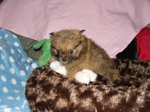 Teacup Pomeranians For Sale Pomeranian Puppies Teddy Bear Hd Wallpaper