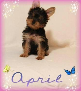 Teacup Yorkie Puppies on Teacup   Toy Yorkies Puppies Akc For Sale In Katy  Texas Classified