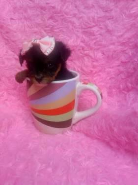 Teacup Yorkie Puppies on Teacup Yorkiepoo Puppies Yorkie   Poodle In Fairfield Bay  Arkansas