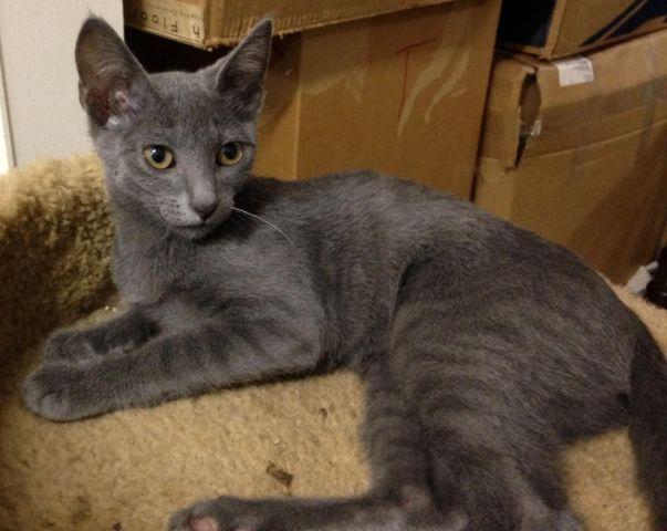Teddy - Adorable Russian Blue Dark Gray Male Kitten for ...