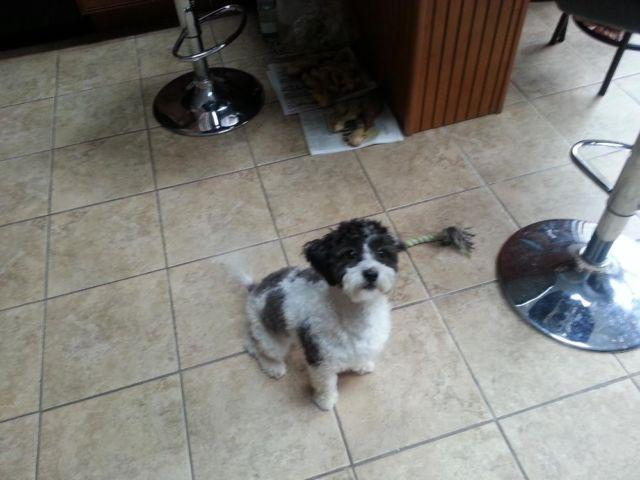 Teddy Bear Bichonshih Tzu Mix 1 Year Old For Sale In Caldwell New