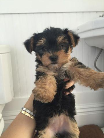 Teddy Bear Face Yorkie Puppies For Sale For Sale In Miami Florida