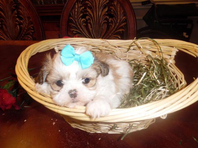 Teddy Bear Faces Males Shih Tzu Puppies For Sale In